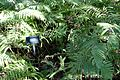 Thelypteris kunthii - Zilker Botanical Garden - Austin, Texas - DSC08742.jpg