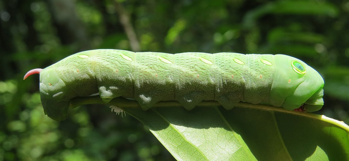 Sưu tập Bộ cánh vẩy  - Page 46 1200px-Theretra_pallicosta_caterpillar_11