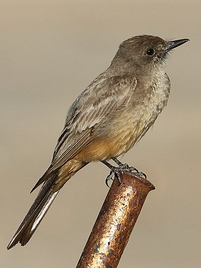 Say's Phoebe Thomas Say's Phoebe.jpg