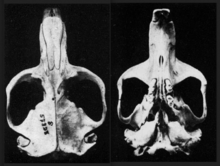 Dorsal and ventral views of a camas gopher skull