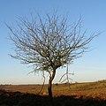 Thorn tree, Black Gutter Bottom, New Forest - geograph.org.uk - 684068.jpg