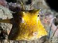 Thornback cowfish (Lactoria fornasini) (25377304117).jpg