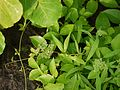 Three-leaved Wild Vine (5893861417).jpg