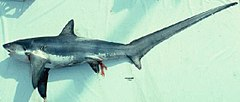 240px thresher shark