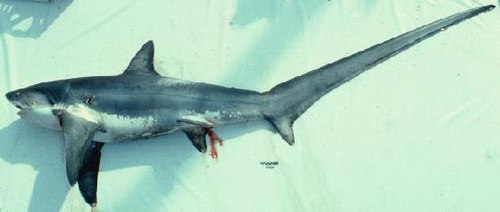 500px-thresher_shark