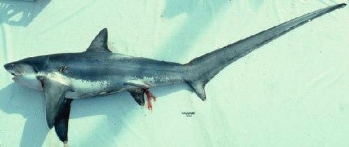 500px thresher shark