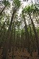 Thuja occidentalis forest 4 Wisconsin.jpg