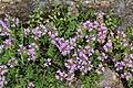 Thymus quinquecostatus (Mount Ibuki).JPG