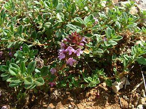 Thymus serpyllum - Image: Thymus serpyllum 1