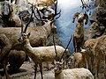 Tibetan antelope, stag, bighorn sheep in diorama taxidermy, Powell-Cotton Museum, Birchington Kent England.jpg