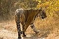 Tiger Panthera tigris (2156075066).jpg