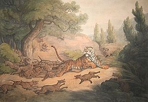 Dhole - A Tiger Hunted by Wild Dogs (1807) by Samuel Howitt: This is one of the first illustrations of the species, featured in Thomas Williamson's Oriental Field Sports. The depiction, though, is based on Williamson's description of the animal as resembling the Indian pariah dog.