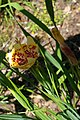 Tigridia pavonia, Conservatoire botanique national de Brest 06.jpg