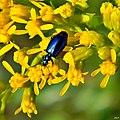Tiny Blue Beetle & Goldenrod (7150488225).jpg