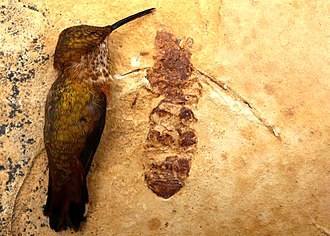 Formiciinae - Titanomyrma, with a rufous hummingbird for scale