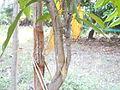 Top Working in Mango Tree (YS) (1).JPG