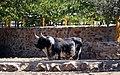 Toro de lidia. (49133572608).jpg