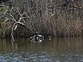 Tortugues de Florida a l'estany del braç de la Vidala P1100416.jpg