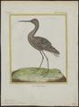 Totanus fuscus - 1700-1880 - Print - Iconographia Zoologica - Special Collections University of Amsterdam - UBA01 IZ17400121.tif