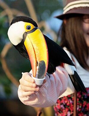 Kobe Animal Kingdom - Toucan being fed