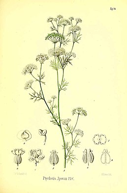 Trachyspermum ammi (L.) Sprague illustrations.jpg
