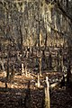 Tree stumps in Caddo Lake Park.jpg