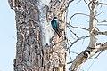 Tree swallow (Tachycineta bicolor) in Lamar Valley (42236078002).jpg