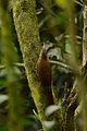 Trepatroncos Corona Punteada, Spot Crowned Woodcreeper, Lepidocolaptes affinis (16970773802).jpg