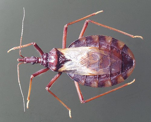 Triatoma kissingbug dorsal.jpg
