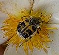 Trichius gallicus - Flickr - gailhampshire (3).jpg