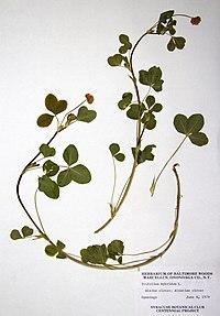 Trifolium hybridum BW-1979-0604-0390.jpg