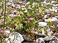 Trifolium resupinatum sl9.jpg