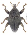 Trigonopterus hasenpuschi Riedel, holotype.tif