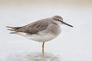 Grey-tailed tattler - Non-breeding plumage