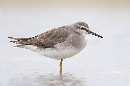 The gulf's mangroves are an important site for grey-tailed tattlers