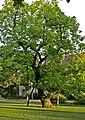 Trompetenbaum-Gewöhnlicher Trompetenbaum (Catalpa bignonioides)