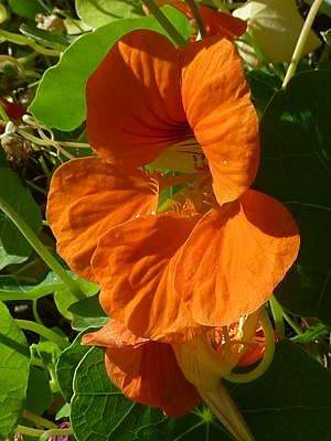 Tropaeolum majus 'Nasturtium' (Trolaeolaceae) ...