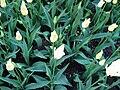 Tulipány (3).jpg