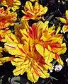 Tulipan ck 0308 2.jpg