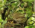 Turdus philomelos -New Zealand -nest-8 (1).jpg