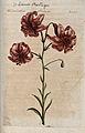 Turk's-cap lily (Lilium martagon); flowering stem. Colour an Wellcome V0044254.jpg
