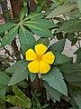Turnera ulmifolia 41.jpg