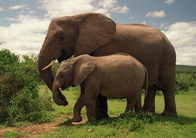 Two Elephants in Addo Elephant National Park.jpg