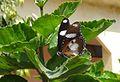 U-s Danaid Eggfly - Flickr - gailhampshire.jpg