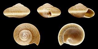 <i>Umbonium elegans</i> Species of gastropod