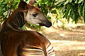 Un okapi en captivité à Epulu, 2005 (4442806929).jpg