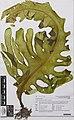 Undaria pinnatifida (Harv.) Suringar (AM AK353796-1).jpg