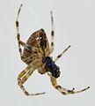 Une araignée mangeant une proie (2).JPG