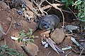 Unidentified animal of Kenya 01.jpg