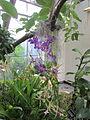 United States Botanic Garden orchids, Washington, D.C. 2012.JPG